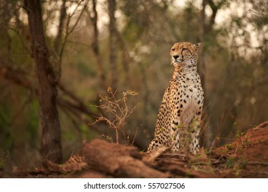 Wild Cheetah, Acinonyx jubatus, sitting on termite hill, monitors territory in the colorful evening light against blurred reddish background. Typical KwaZulu Natal's environment. Zimanga,South Africa.