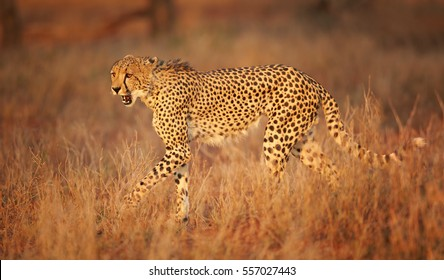 Wild Cheetah, Acinonyx jubatus, walking  in high grass of savanna, lit by beautiful, colorful evening sun. Typical KwaZulu Natal's savanna environment. Close up wild cheetah. KwaZulu, South Africa.