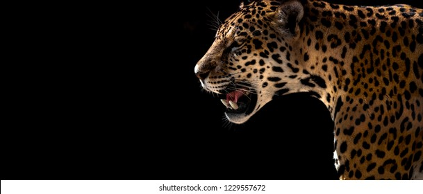 Wild cheetah, leopard, jaguar, closeup horizontal photo