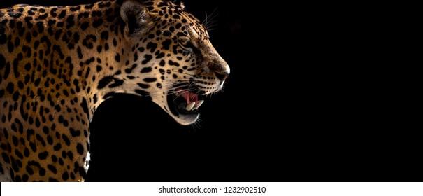 Wild cheetah, leopard, jaguar, closeup horizontal photo