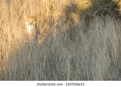 Wild cheetah mimicry  at sunset (Namibia, Africa)