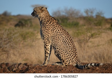 Wild Cheetah Searching for Prey in South Africa