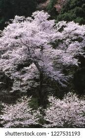 Wild cherry blossoms