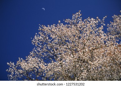 Wild cherry blossoms and Moon