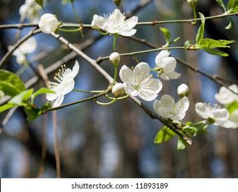 Wild cherry tree in bloom