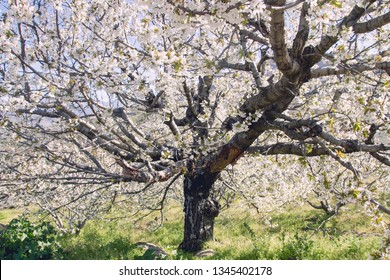 Wild cherry tree flowering cherry blossom in spring