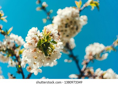 Wild Cherry tree with white blossoms against blue sky and sunshine