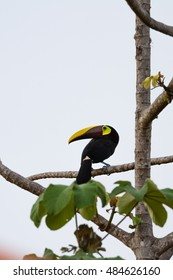wild chestnut mandibles toucan perched on a tree branch in the Costa Rica south pacific