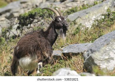 Wild Cheviot Goat at Valley Of The Rocks, Lynton, Devon