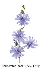 wild chicory flowers isolated on white background