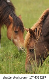 Wild Chincoteague Ponies of Assateague Island on the Maryland side.