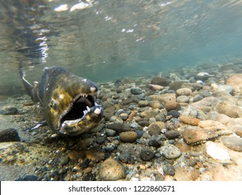 Wild Chinook Salmon Spawning In The Fall