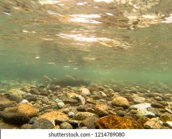 Wild Chinook Salmon Spawning On A Gravel Bed In The Cedar River