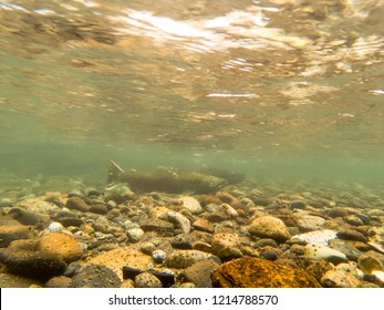 Wild Chinook Salmon Swimming In The Cedar River