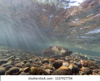 Wild Chinook Salmon Underwater In The Cedar River
