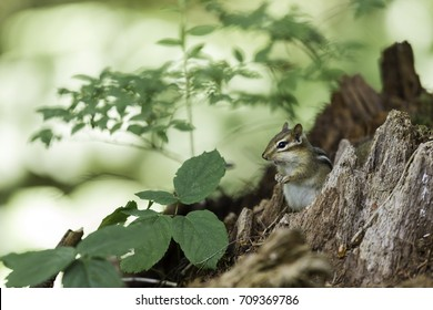 Wild chipmunk in a Boreal forest, north Quebec, Canada.