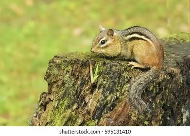 Wild Chipmunk on Stump