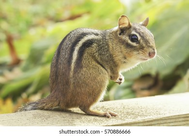 Wild Chipmunk Portrait