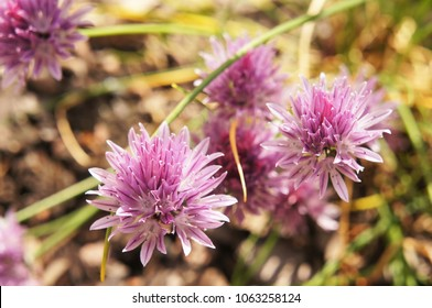 Wild chive or allium schoeneprasum purple flowers