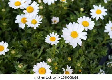 Wild chrysanthemum chamomile