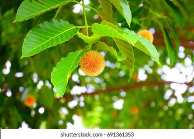 Wild cinchona (Kra Thum Tree)