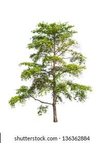 Wild Cinchona tree (Anthocephalus chinensis), tropical tree in the northeast of Thailand isolated on white background