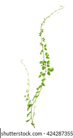 Wild climbing vine, Cayratia trifolia (Linn.) Domin. isolated on white background, clipping path included