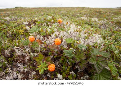 Wild cloudberries, Rubus chamaemorus, ripe and ready to be harvested growing on alpine tundra in Labrador, NL, Canada