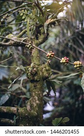 The wild coffee in tropical forest