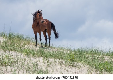 Wild Colonial Spanish Mustangs on the dunes and beach in northern Currituck Outer Banks