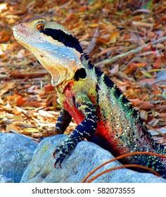 Wild colorful iguana found near Manly Beach in Sydney, Australia