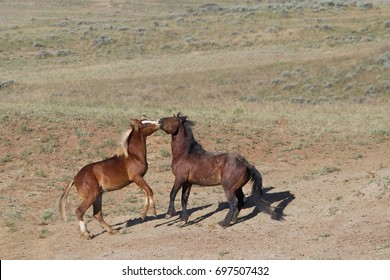 Wild Colts Playfully Fighting