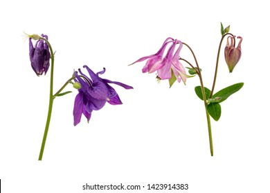 Wild Columbine (Aquilegia vulgaris) without background. Pink and purple flowers. Isolate on white background