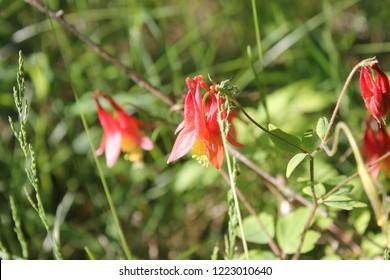 Wild Columbine growing in Ontario Canada