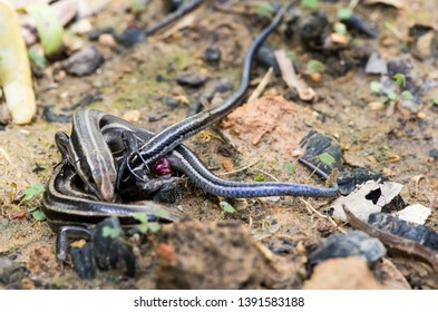 Wild Common five-lined skink lizards reptiles mating macro close-up NC USA