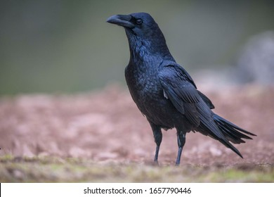 Wild common raven with very bright black feathers
