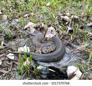 Wild cottonmouth snake