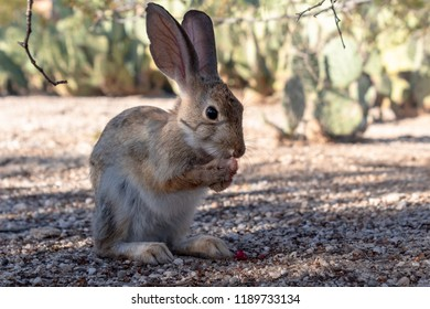 Wild cottontail rabbit busy grooming, sitting on back legs and washing face in the Sonoran desert outside of Tucson, Arizona. This native bunny is cute and adorable cleaning and tidying up. Fall 2018.