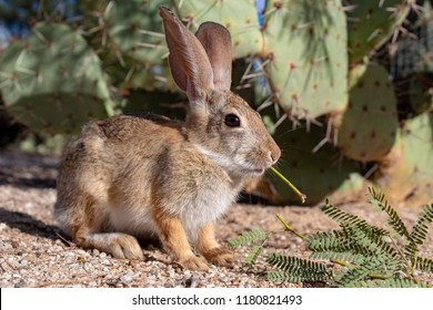 Wild cottontail rabbit, this cottontail bunny is foraging in the Sonoran desert for food outside of Tucson, Arizona. Close up of an adorable and cute native to North America animal. Pima county 2018.