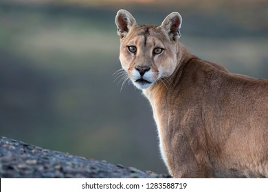 Wild Cougar (Puma concolor concolor) in Torres del Paine national park in Chile.