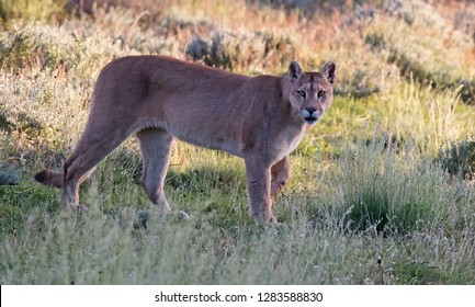 Wild Cougar (Puma concolor concolor) in Torres del Paine national park in Chile. Standing still and looking alert to the photographer.