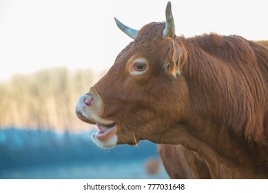 Wild cow in the winter