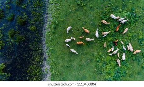 Wild cows and horses walk along the Ukrainian island of Ermakov.