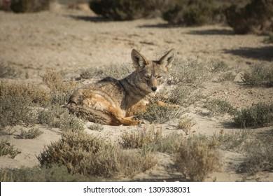 Wild coyote in Baja California desert.