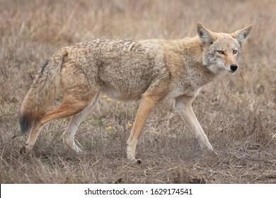 Wild Coyote - (Canis latrans)