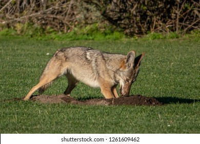 A wild coyote (Canis latrans) attempts to catch a gopher deep in its hole, in a neighborhood park in the hills of Monterey, California.