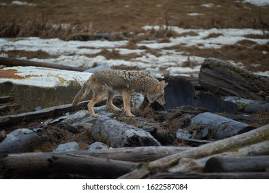 Wild Coyote on winter time hunting with fur hanging off underneath the neck and walking around near the photographer without any fear.