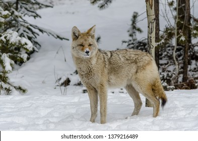 wild coyote with snow on its nose looking for its next meal , in the woods