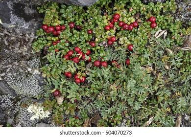 Wild cranberries grow in tundra on Kamchatka
