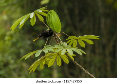 wild crested oropendola on tree, natural scene with crested oropendola